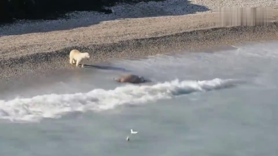 饥饿的北极熊绝望之际,海象乘海浪赶来搭救!