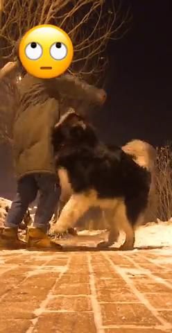 问我为什么养大型犬,为了相爱相杀