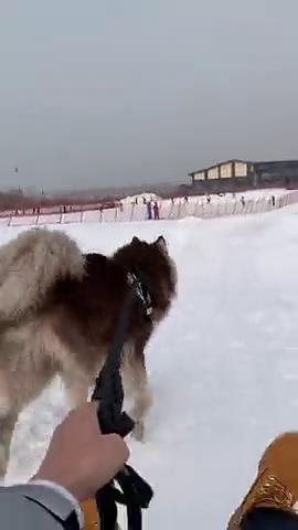 阿拉斯加雪橇犬狗子你今天终于成功的当上雪橇犬了