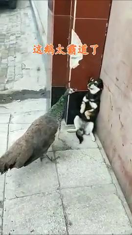 霸道大鹅竟欺负小奶狗!太坏了!