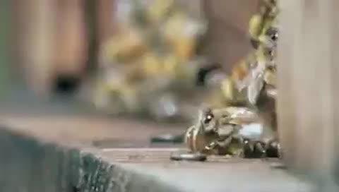 大黄蜂对蜜蜂大反击,率领30名大将屠杀3万只蜜蜂,无一幸免