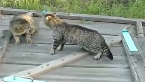 今天不打死你我不姓喵,狂暴猫星人互殴