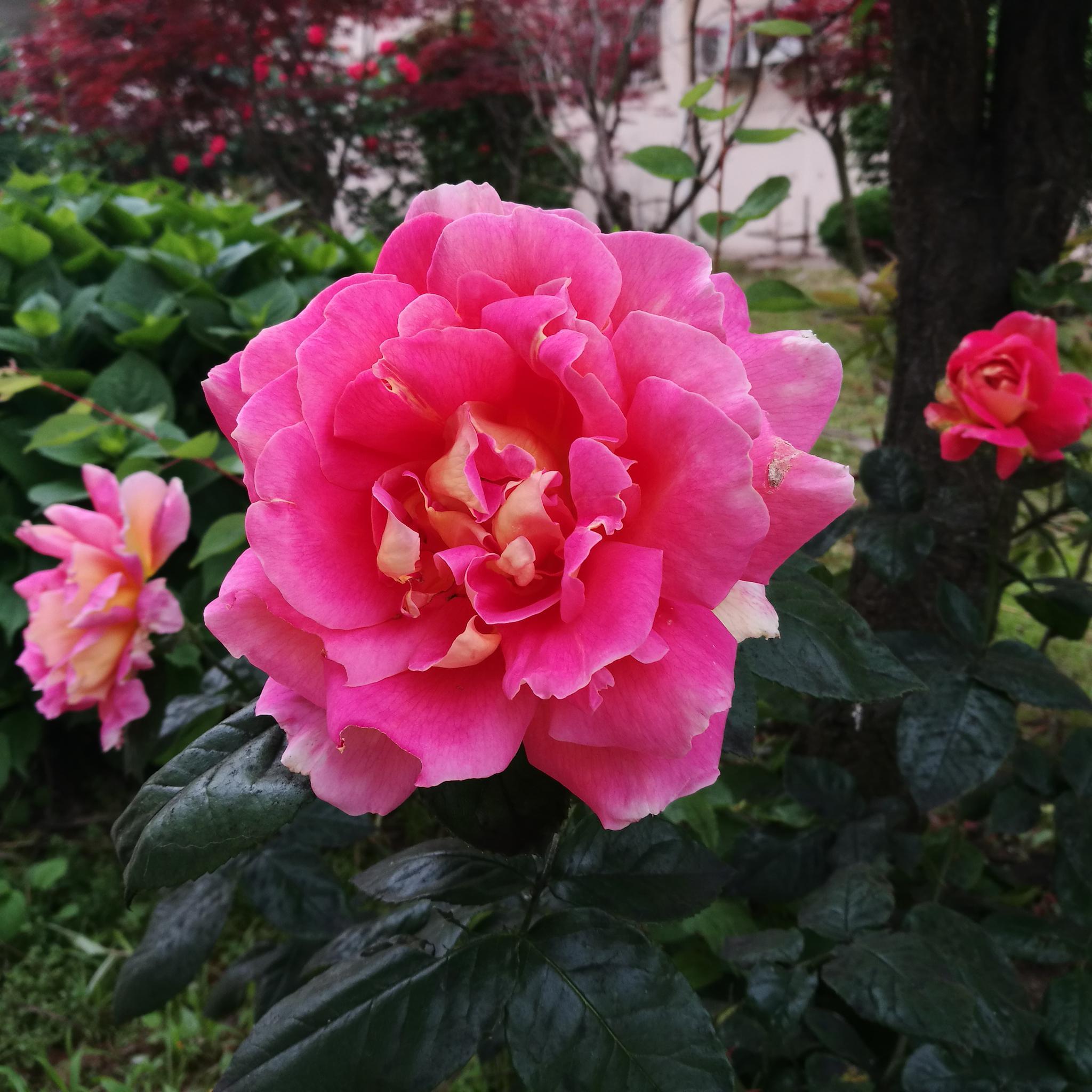 植物花卉  月季花