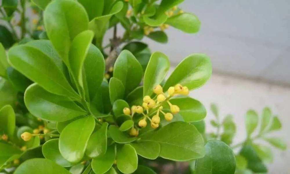 米兰有时会不开花或是枯萎,冬季落叶如何处理,这样养护安全过冬