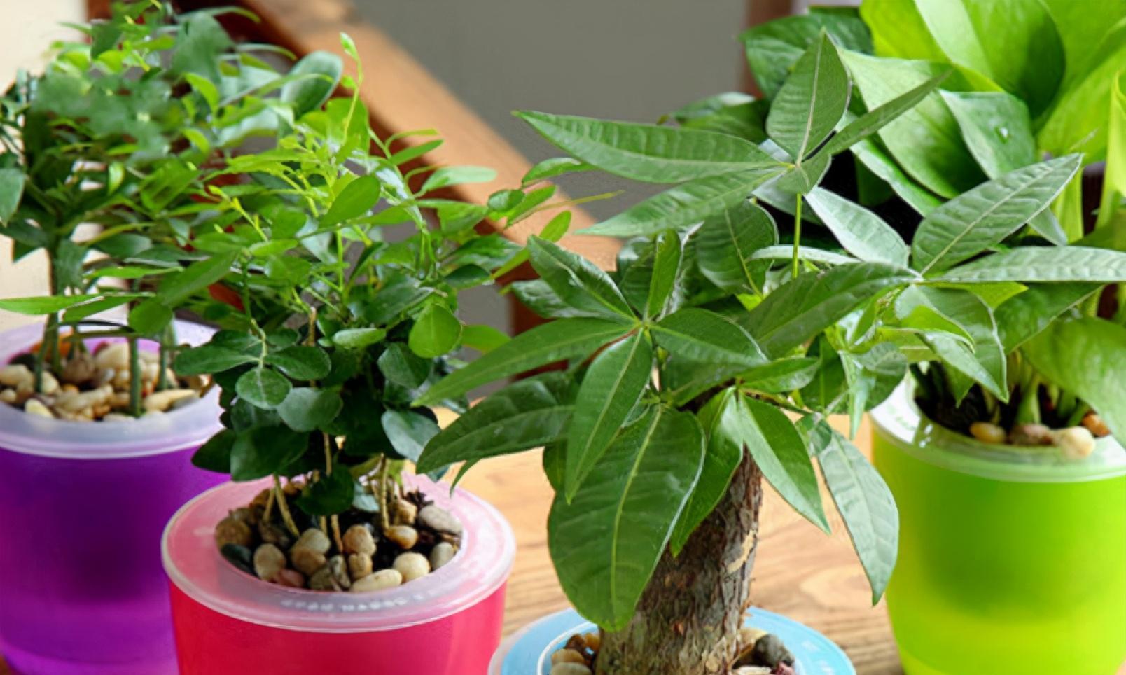 """盆栽发财树养护5点""""心法"""",不烂根不黄叶,一年四季有光泽"""