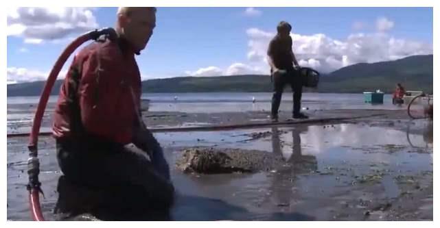 象拔蚌原来是这样挖出来的,难怪这么贵,真不愧是贵族海鲜!