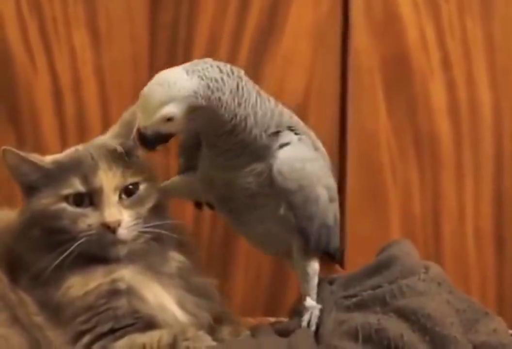 鸟界哈士奇、集沙雕与嚣张为一身的鹦鹉到底能有多嚣张?