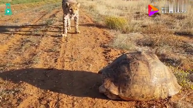 豹子偶遇大乌龟,一副没见过世面的样子,好奇心是真的重呀