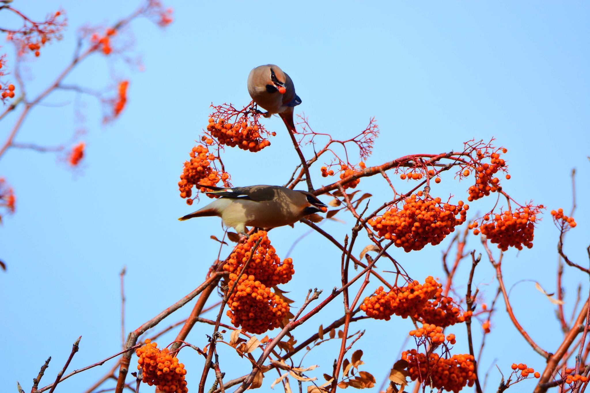 太平鸟爱吃花楸果,原创拍摄