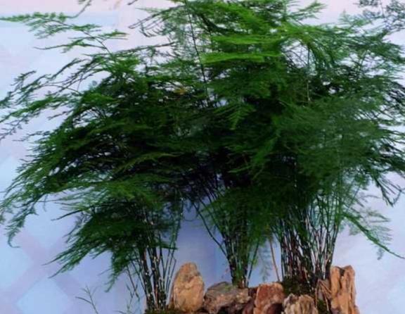 """文竹""""2种""""繁殖方法,生根快成活率高,一盆能变好几盆"""
