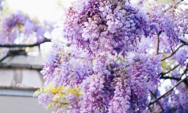 邂逅一场紫色浪漫,南京这条紫藤花走廊好梦幻