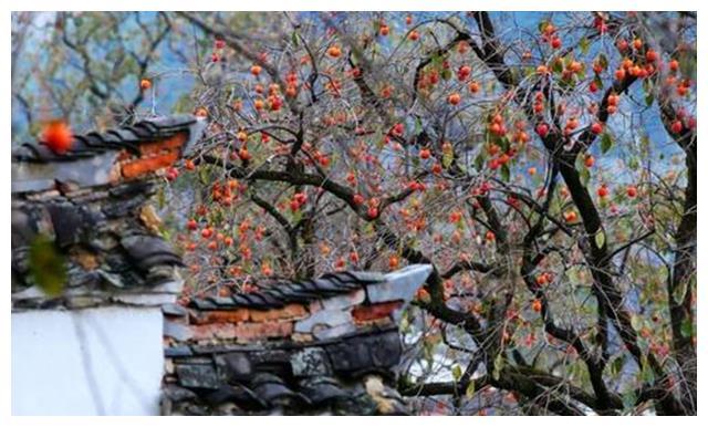 浙江宁波的柿林村,让你不再跟风拍枫叶,还能吃柿饼喝柿酒