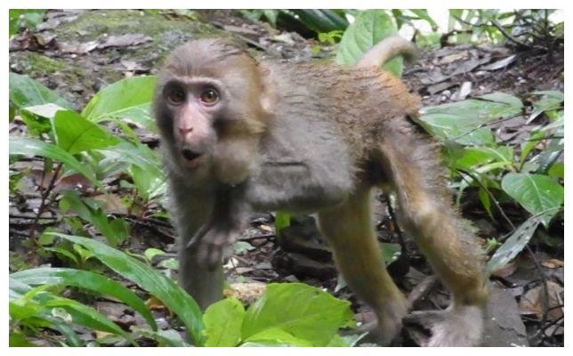 """世上第一个做""""换头手术""""的猴子,18小时耗资7000万,如今怎样了"""
