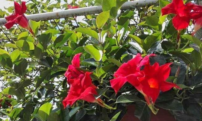 """它被称为爬藤界的""""扛把子"""",数月就""""开满墙"""",颜值比玫瑰还高"""