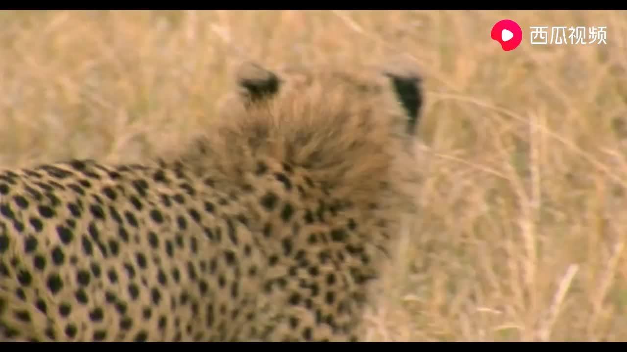 犀牛和豹子对峙