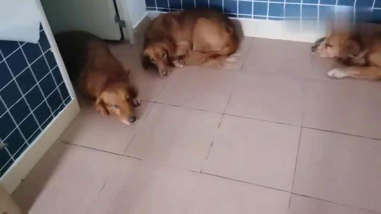 狗狗太聪明了,主人要求把它们关房间,三个都装聋听不见,神同步