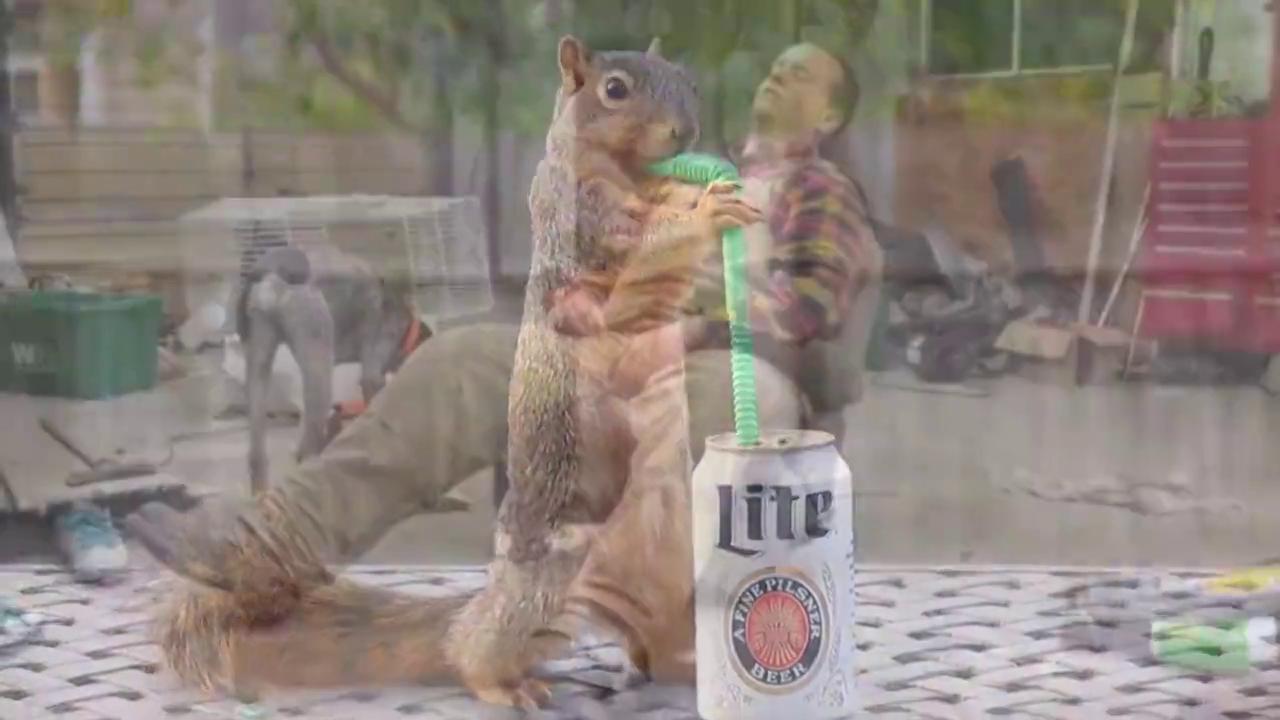 松鼠趁主人不在偷喝啤酒,结果不小心喝多了,下一秒让人笑出腹肌