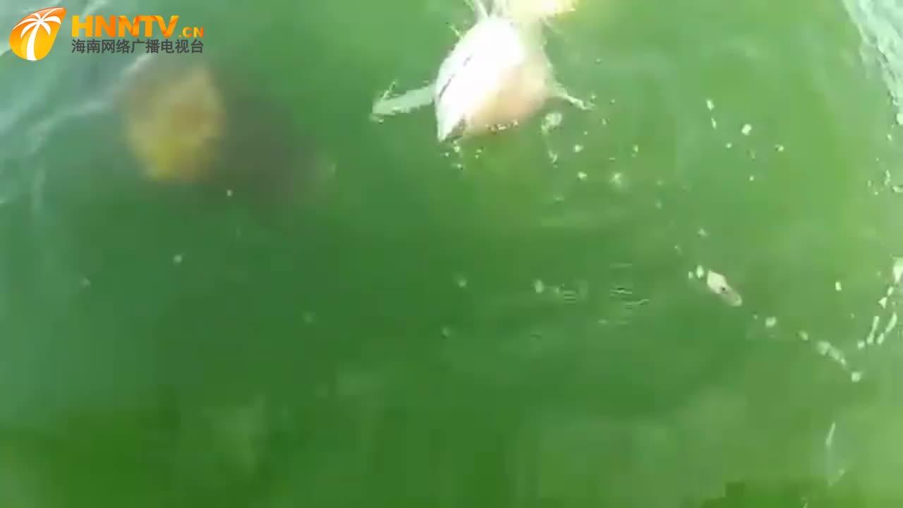 男子钓起一条一米长鲨鱼,没想到被巨型石斑鱼一口吞掉!