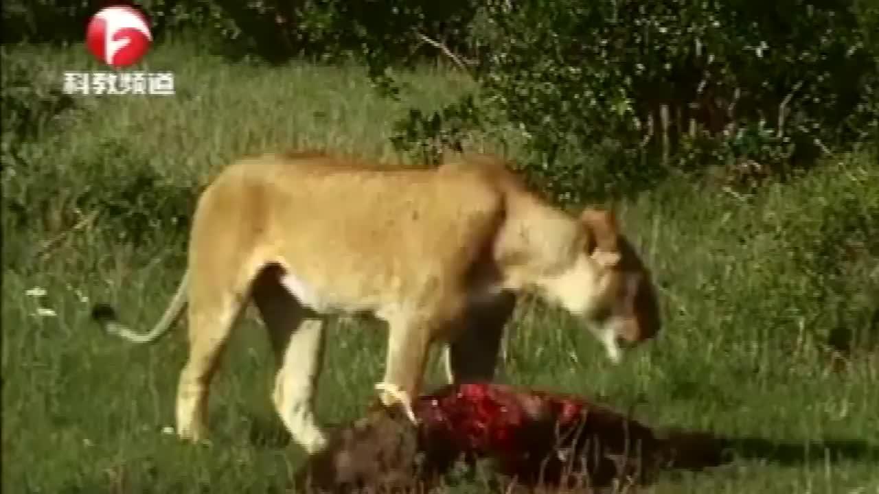 母狮捕到猎物,幼崽们用力撕扯,却怎么也吃不到嘴
