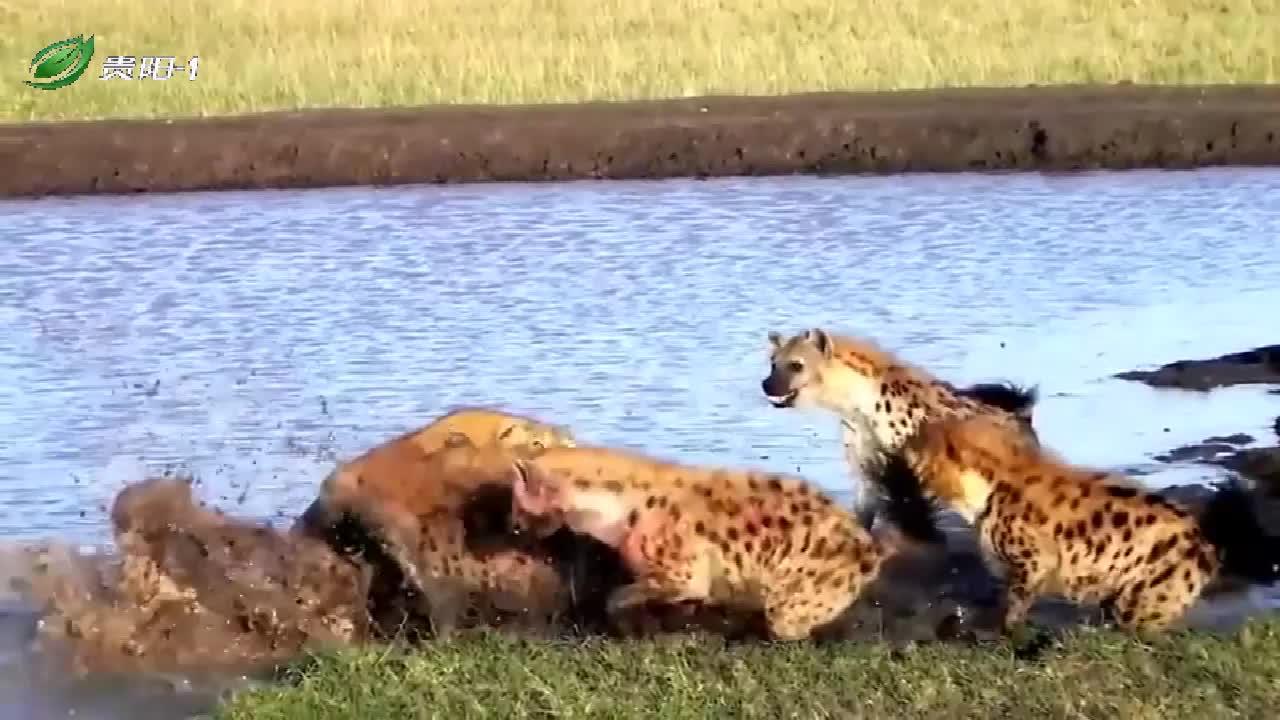 母狮被一群鬣狗包围,惨遭撕咬,看来今天是栽了