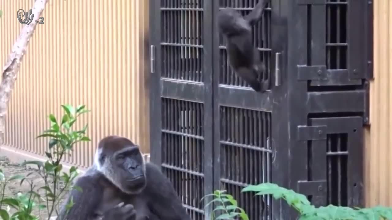 两只大猩猩带孩子,因观点不同,大大出手