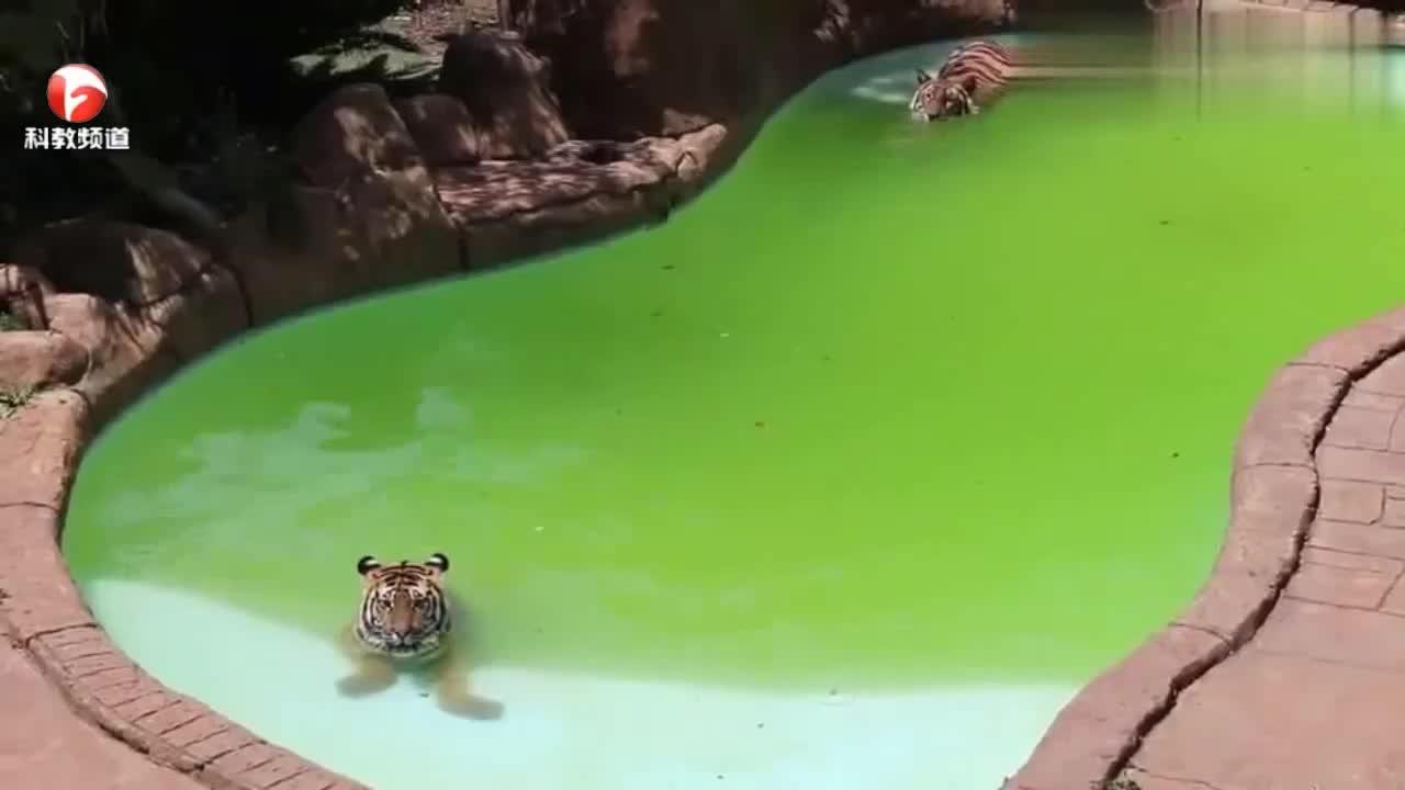 两只老虎在泳池里到处乱蹦,一会下水一会跳上岸,太可爱了