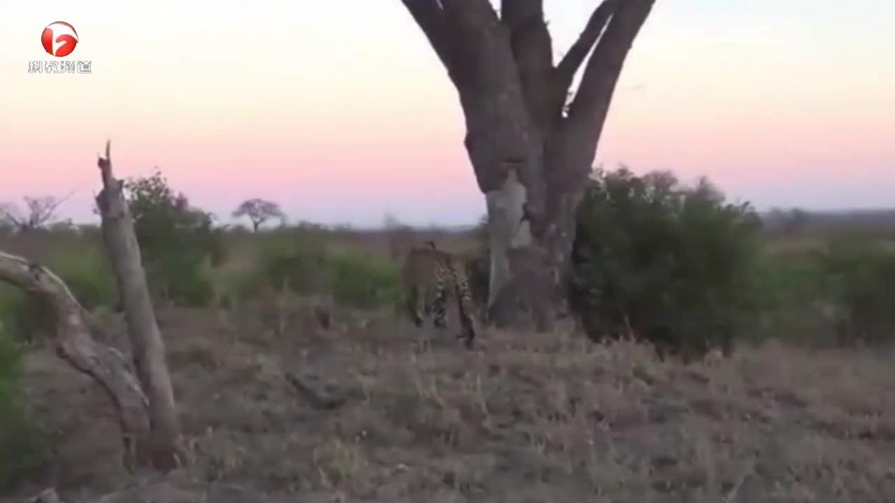 花豹不愧是爬树高手,老鹰在树上歇息,它都能将它捉下来