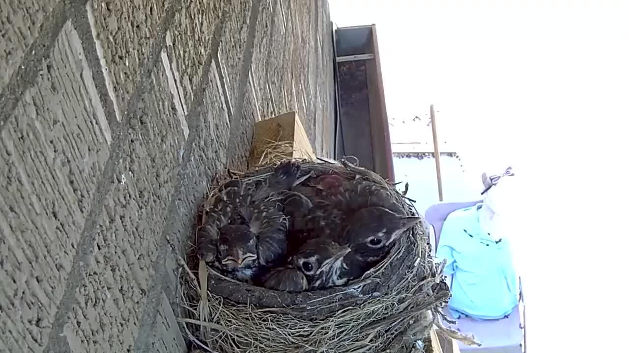 小鸟以为妈妈回来了,张着嘴巴等待喂食,没想到却是悲剧的开始!