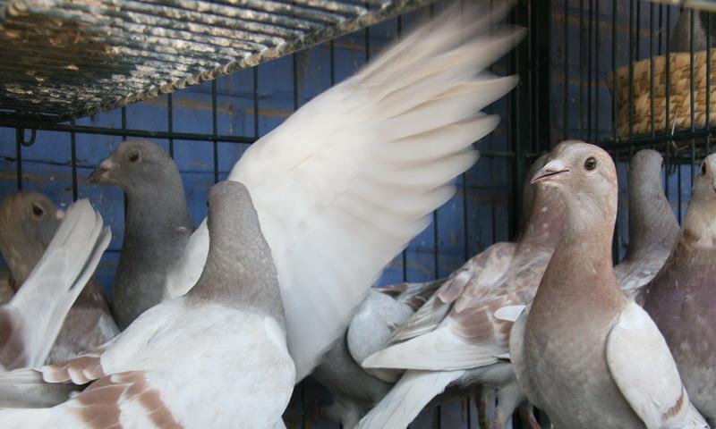 平时养鸽,需不需要再买一些维他命喂鸽子?