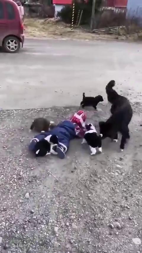 网友家的小女儿走路不小心摔了,被身后一群小奶狗追着舔舔舔