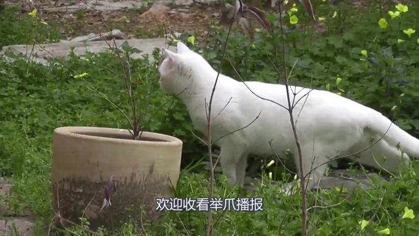 饲养员给花豹扔了包猫薄荷,花豹的表情亮眼了,网友:好想撸豹子