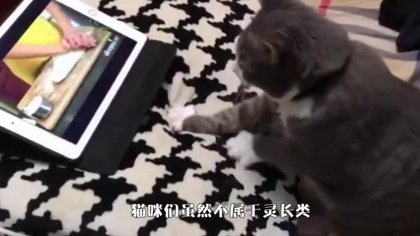 猫一脸专注地看电视,这大佬般的坐姿跟谁学的?笑翻了