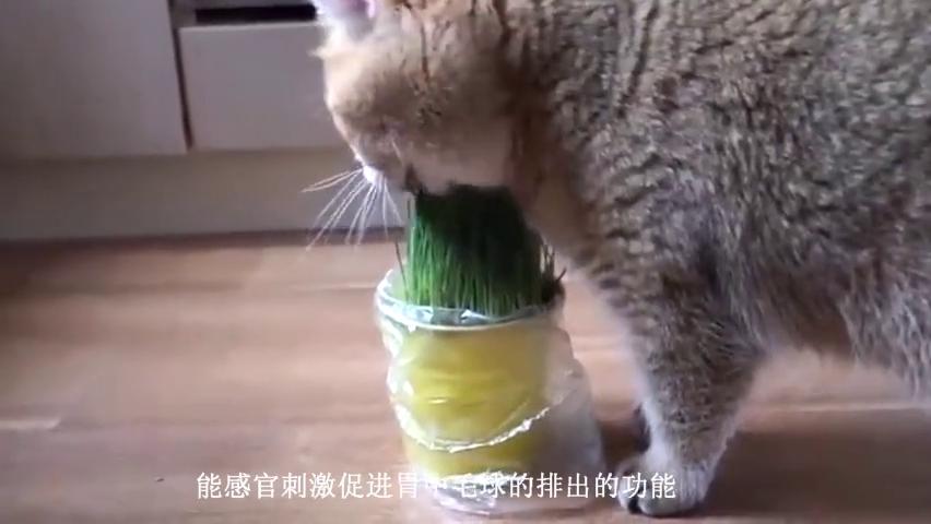 猫草长高啦,猫主子主动来验货,也太萌了吧!