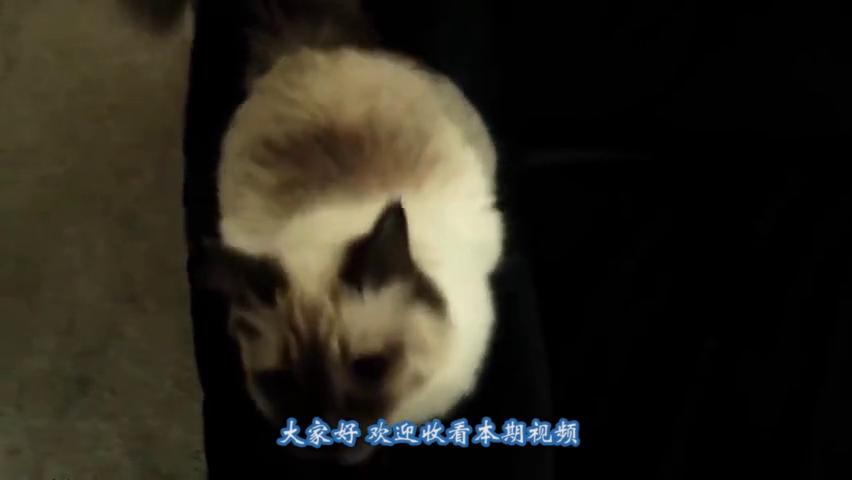 猫咪霸气玩乒乓球,没有接不住的,猫咪:是不是很厉害