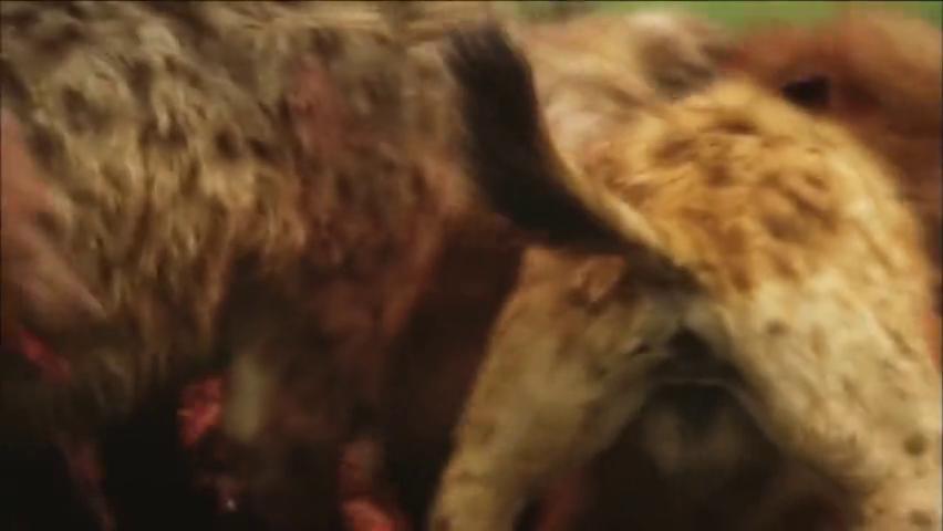 羚羊遭到鬣狗疯狂围攻,鬣狗再现掏肛绝技,活掏致死太残忍