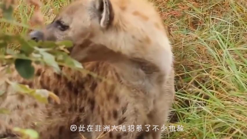 花豹惨遭成群鬣狗掏肛致死,野狗为花豹报仇雪恨,镜头记录全过程