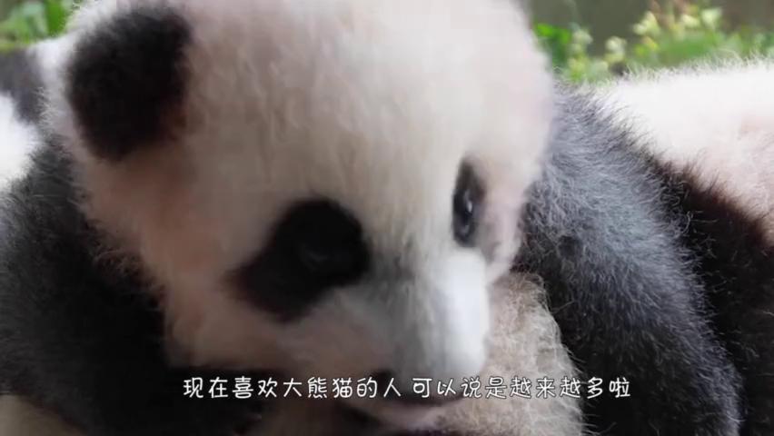 小熊猫抱着小球,死活不松手,知道真相后流下眼泪!