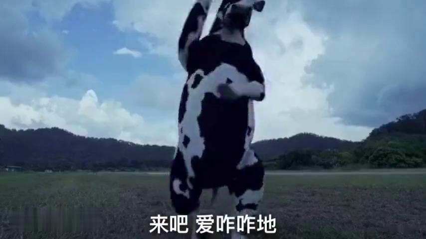 你看过功夫熊猫,但你没看过功夫母牛吧