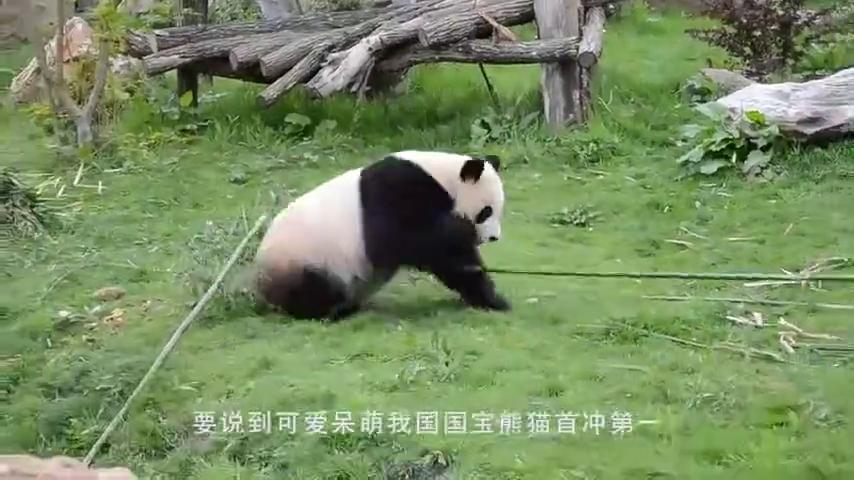 熊猫居然会功夫?这下更没办法和外国人解释了,镜头拍下全过程