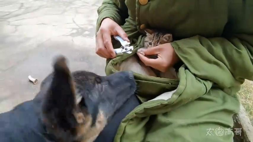 给捡来的流浪猫剪指甲,牙齿还没长齐,奶凶奶凶的,连德牧都敢打