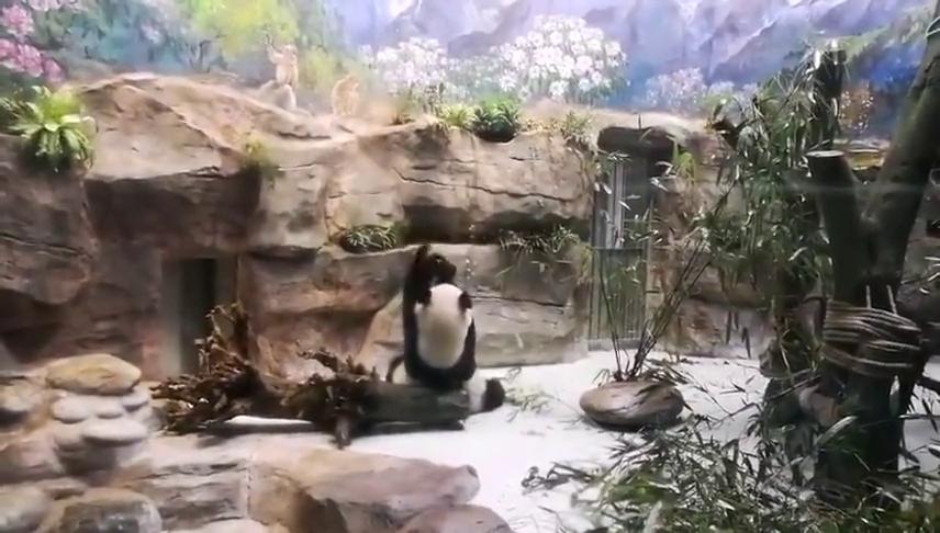 大熊猫:你是不是把本熊的窝窝头给吃了?快给我吐出来~