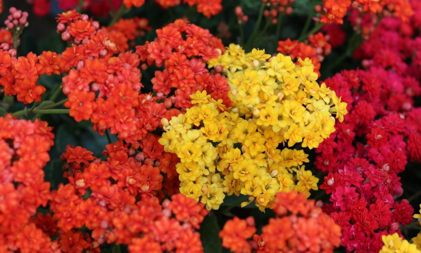 好品种的长寿花不需要买,掰一片叶子埋土里,当年就能开满花