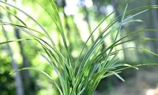 野生蕙兰为何能够成为保护植物,生长环境,繁衍能力缺一不可!