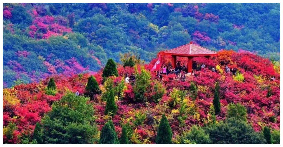 来韩城香山,看尽这片紫红色的漫山遍野~