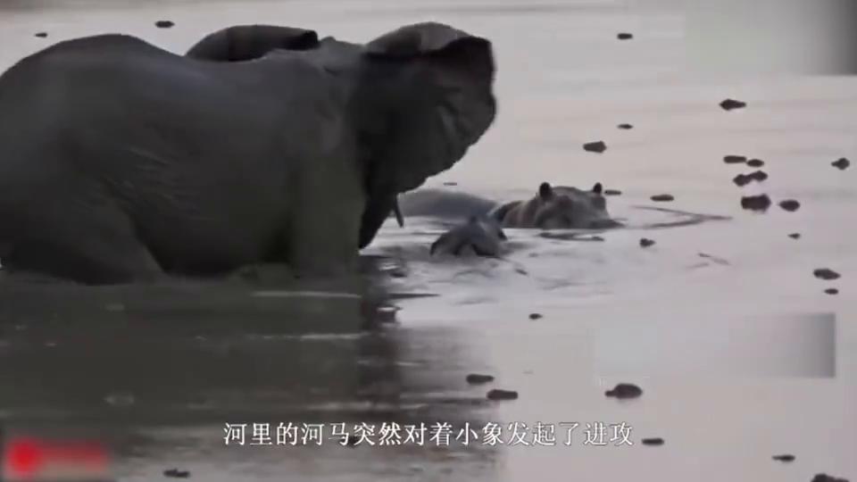 大象携子过河,河马突然发起偷袭,母象:我的怒火你承受不起