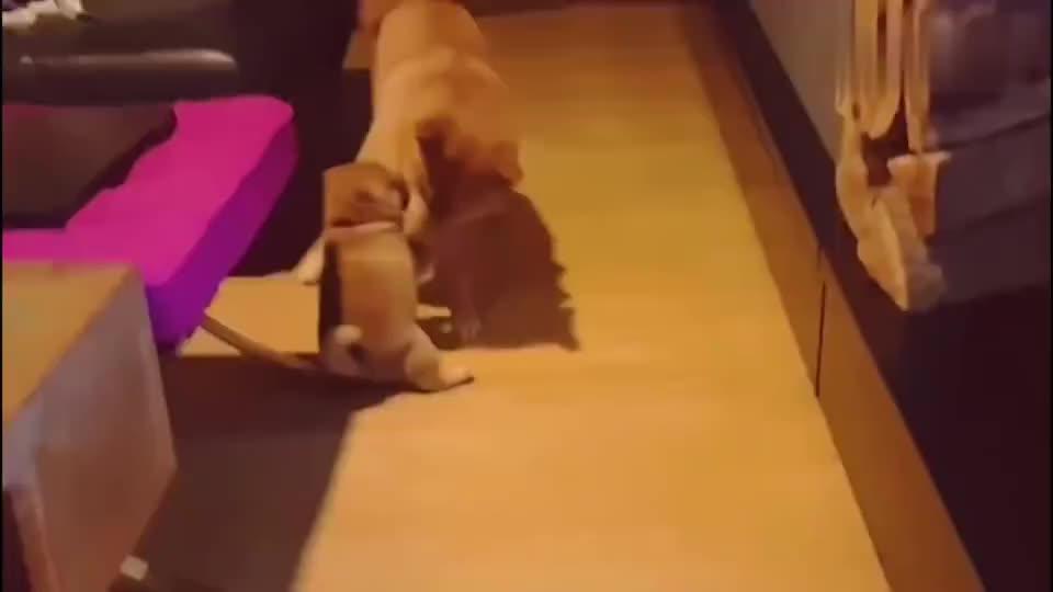柴犬:小宝宝睡着了,柴犬细心为其盖被子,好有爱呀!