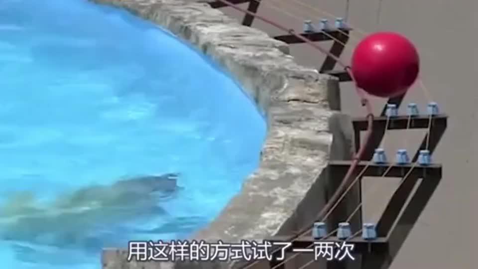 北极熊:拿玩具球被电击,小北极熊找妈妈帮助,但也无能为力!