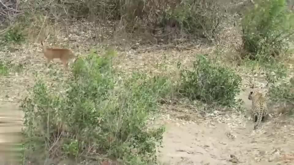 豹子以迅雷不及掩耳之势扑向黑斑羚