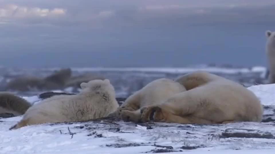 北极熊:为了吃顿饭真的不容易啊