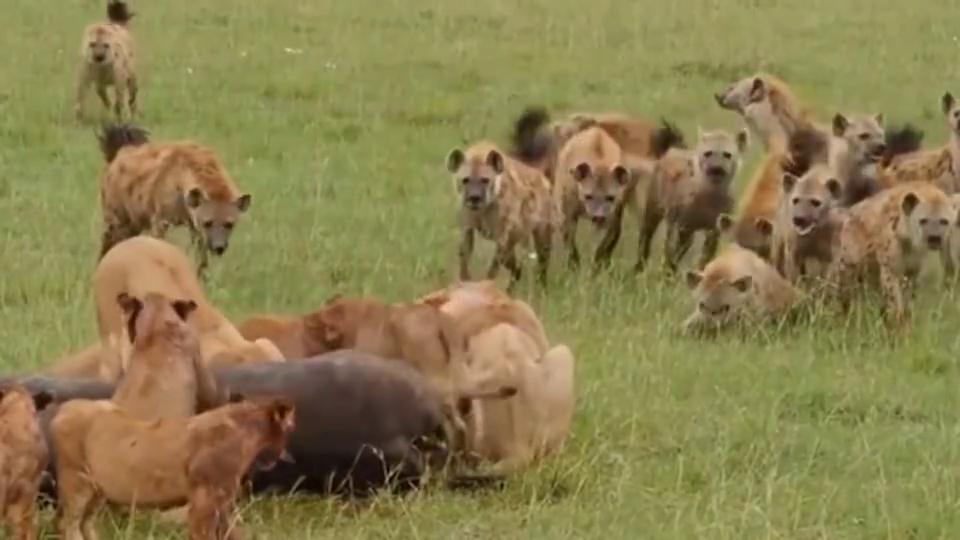 非洲二哥鬣狗看到狮子大哥有肉吃,在一旁眼巴巴看着!